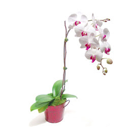 İsparta çiçek gönderme  Saksida orkide