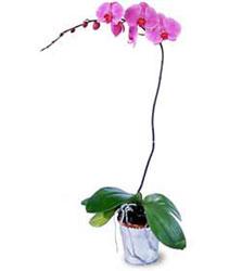 İsparta cicekciler , cicek siparisi  Orkide ithal kaliteli orkide