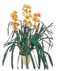 İsparta çiçekçiler  Orchiede ithal büyük boy saksi