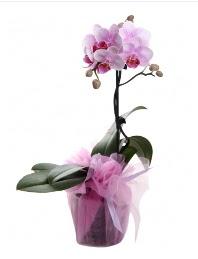 1 dal pembe orkide saksı çiçeği  İsparta kaliteli taze ve ucuz çiçekler