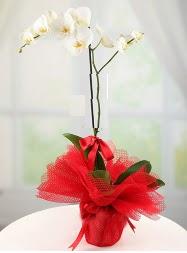1 dal beyaz orkide saksı çiçeği  İsparta yurtiçi ve yurtdışı çiçek siparişi