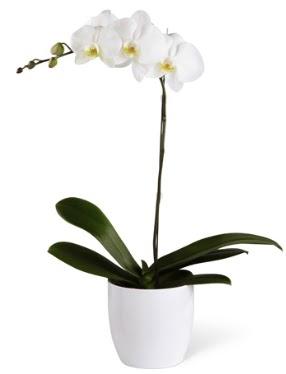1 dallı beyaz orkide  İsparta 14 şubat sevgililer günü çiçek