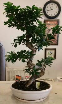 100 cm yüksekliğinde dev bonsai japon ağacı  İsparta İnternetten çiçek siparişi