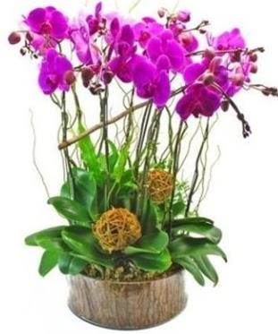 Ahşap kütükte lila mor orkide 8 li  İsparta internetten çiçek satışı