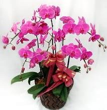 Sepet içerisinde 5 dallı lila orkide  İsparta ucuz çiçek gönder