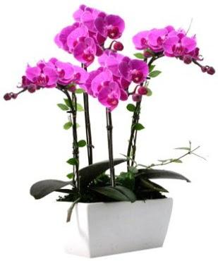Seramik vazo içerisinde 4 dallı mor orkide  İsparta çiçek satışı