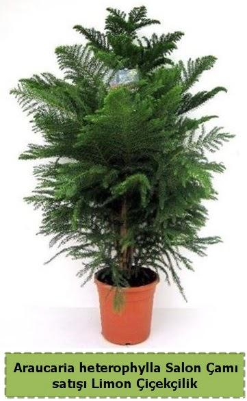 Salon Çamı Satışı Araucaria heterophylla  İsparta çiçek satışı