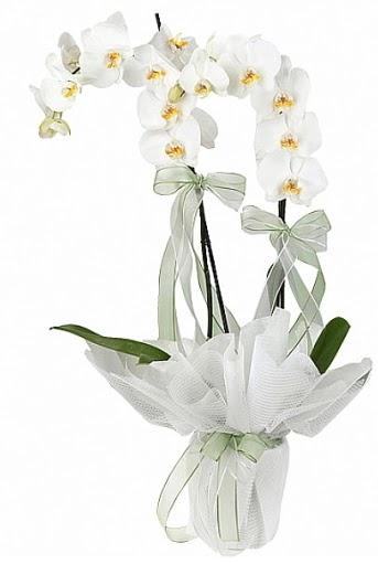 Çift Dallı Beyaz Orkide  İsparta anneler günü çiçek yolla