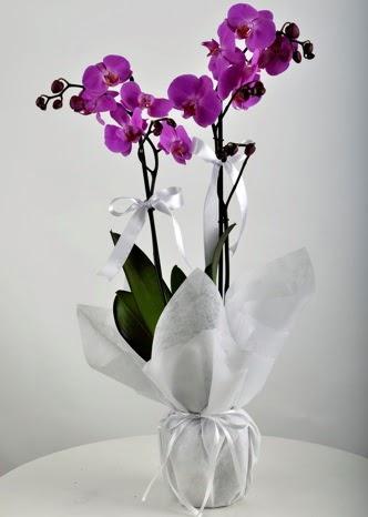 Çift dallı saksıda mor orkide çiçeği  İsparta çiçek siparişi vermek