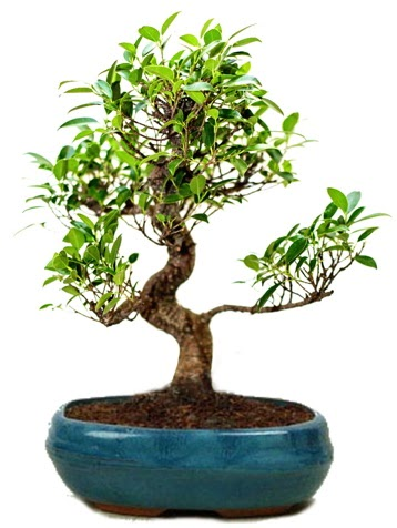 25 cm ile 30 cm aralığında Ficus S bonsai  İsparta çiçek gönderme sitemiz güvenlidir