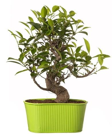 Ficus S gövdeli muhteşem bonsai  İsparta çiçek siparişi sitesi