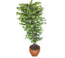 Ficus özel Starlight 1,75 cm   İsparta cicek , cicekci