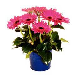 vazo içerisinde gerbera çiçekleri   İsparta online çiçek gönderme sipariş