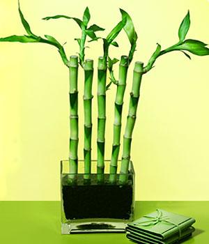 İsparta anneler günü çiçek yolla  Good Harmony Lucky Bamboo camda