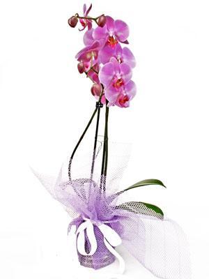 İsparta anneler günü çiçek yolla  Kaliteli ithal saksida orkide