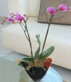 İsparta çiçekçi mağazası  tek dal ikili orkide saksi çiçegi
