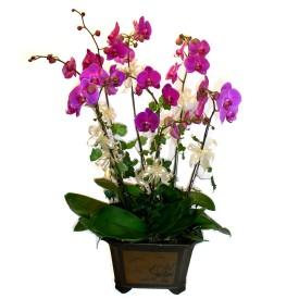 İsparta cicek , cicekci  4 adet orkide çiçegi