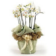 İsparta çiçek siparişi sitesi  3 dal orkide , saksi çiçegi , 3 kök orkide