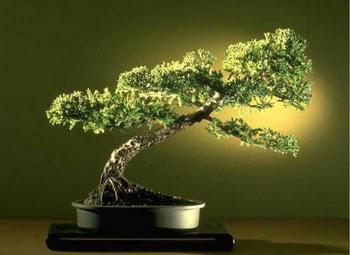 ithal bonsai saksi çiçegi  İsparta çiçekçi mağazası