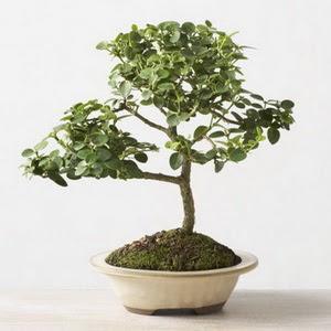 ithal bonsai saksi çiçegi  İsparta çiçek online çiçek siparişi