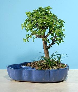 ithal bonsai saksi çiçegi  İsparta çiçekçiler