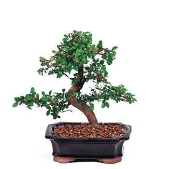 ithal bonsai saksi çiçegi  İsparta çiçek siparişi vermek