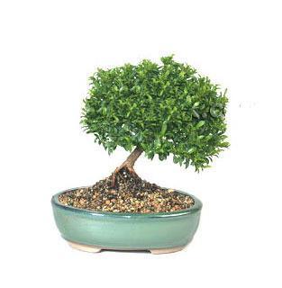 ithal bonsai saksi çiçegi  İsparta cicekciler , cicek siparisi