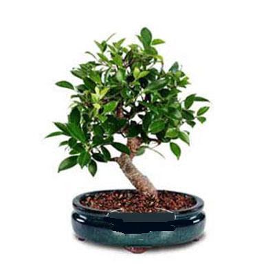 ithal bonsai saksi çiçegi  İsparta çiçek siparişi sitesi