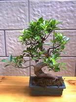 ithal bonsai saksi çiçegi  İsparta hediye sevgilime hediye çiçek