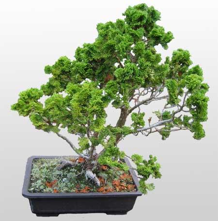 ithal bonsai saksi çiçegi  İsparta İnternetten çiçek siparişi