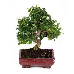 ithal bonsai saksi çiçegi  İsparta anneler günü çiçek yolla