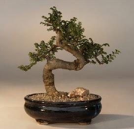 ithal bonsai saksi çiçegi  İsparta 14 şubat sevgililer günü çiçek