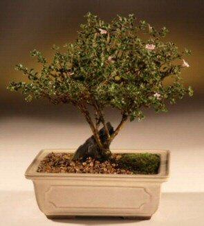 ithal bonsai saksi çiçegi  İsparta çiçek mağazası , çiçekçi adresleri
