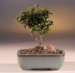 İsparta çiçek yolla  ithal bonsai saksi çiçegi  İsparta internetten çiçek satışı