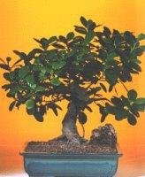 İsparta çiçekçi telefonları  ithal bonsai saksi çiçegi  İsparta internetten çiçek siparişi