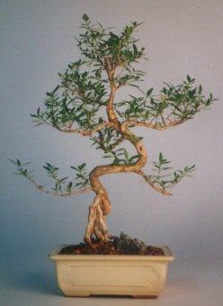 İsparta çiçek satışı  ithal bonsai saksi çiçegi  İsparta çiçek siparişi vermek