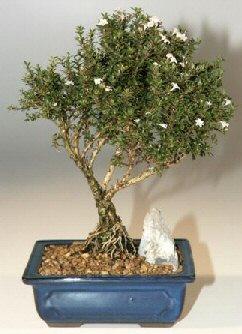 İsparta çiçek , çiçekçi , çiçekçilik  ithal bonsai saksi çiçegi  İsparta online çiçek gönderme sipariş