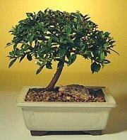 İsparta ucuz çiçek gönder  ithal bonsai saksi çiçegi  İsparta cicek , cicekci