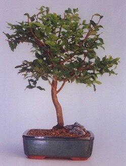 İsparta ucuz çiçek gönder  ithal bonsai saksi çiçegi  İsparta anneler günü çiçek yolla