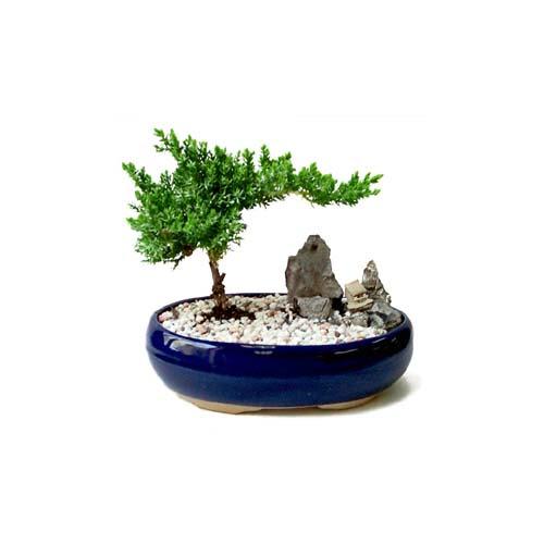 ithal bonsai saksi çiçegi  İsparta çiçek gönderme