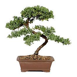 ithal bonsai saksi çiçegi  İsparta çiçek gönderme sitemiz güvenlidir