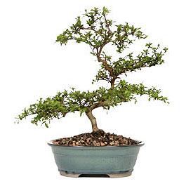 İsparta İnternetten çiçek siparişi  ithal bonsai saksi çiçegi  İsparta çiçek gönderme sitemiz güvenlidir