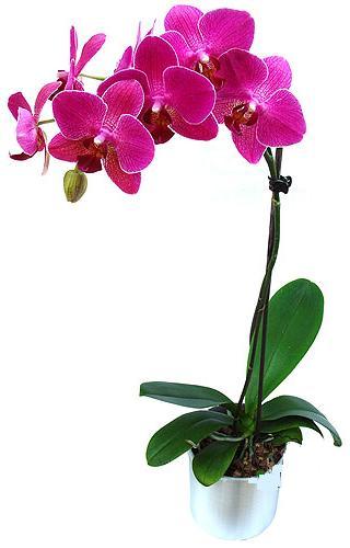 İsparta çiçekçi mağazası  saksi orkide çiçegi