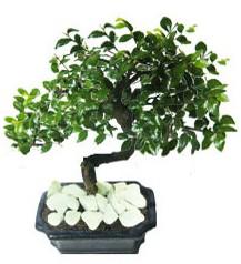 9 yasinda Bonsai agaci  İsparta yurtiçi ve yurtdışı çiçek siparişi