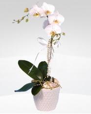 1 dallı orkide saksı çiçeği  İsparta online çiçekçi , çiçek siparişi