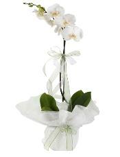 1 dal beyaz orkide çiçeği  İsparta çiçek siparişi vermek
