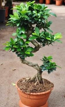 Orta boy bonsai saksı bitkisi  İsparta internetten çiçek siparişi