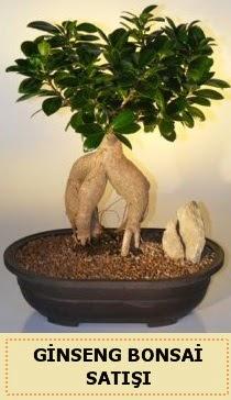 İthal Ginseng bonsai satışı japon ağacı  İsparta çiçek siparişi sitesi