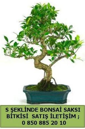 İthal S şeklinde dal eğriliği bonsai satışı  İsparta çiçek gönderme