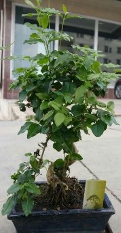 Bonsai japon ağacı saksı bitkisi  İsparta çiçek siparişi vermek